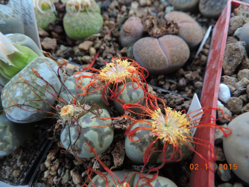 Cacti and Sukkulent in Köln, every day new flowers in the greenhouse Part 134 Bild_397