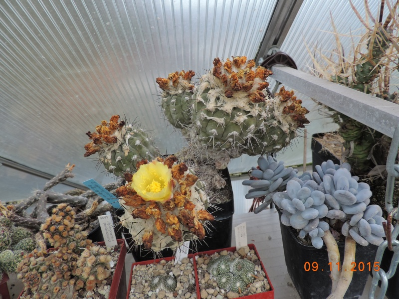 Cacti and Sukkulent in Köln, every day new flowers in the greenhouse Part 134 Bild_406