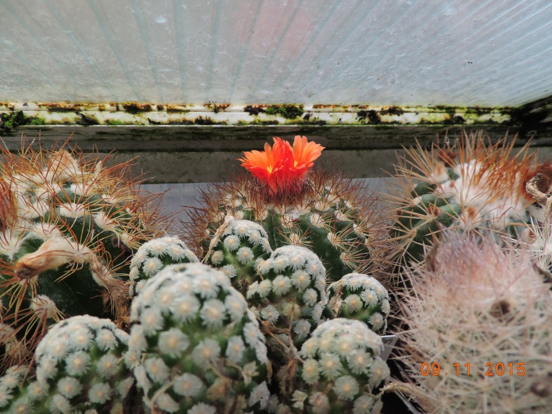 Cacti and Sukkulent in Köln, every day new flowers in the greenhouse Part 134 Bild_408