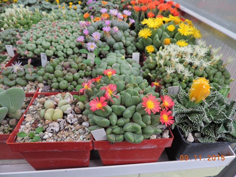 Cacti and Sukkulent in Köln, every day new flowers in the greenhouse Part 134 Bild_431