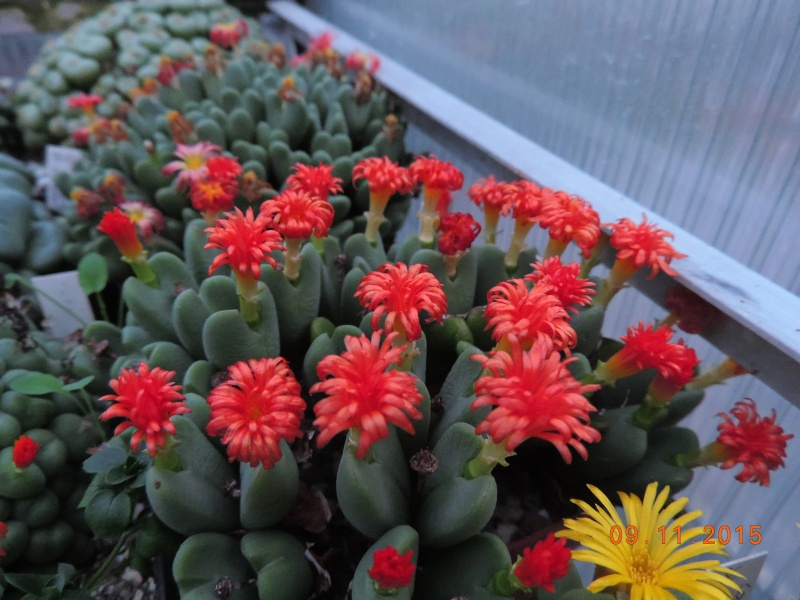 Cacti and Sukkulent in Köln, every day new flowers in the greenhouse Part 134 Bild_433