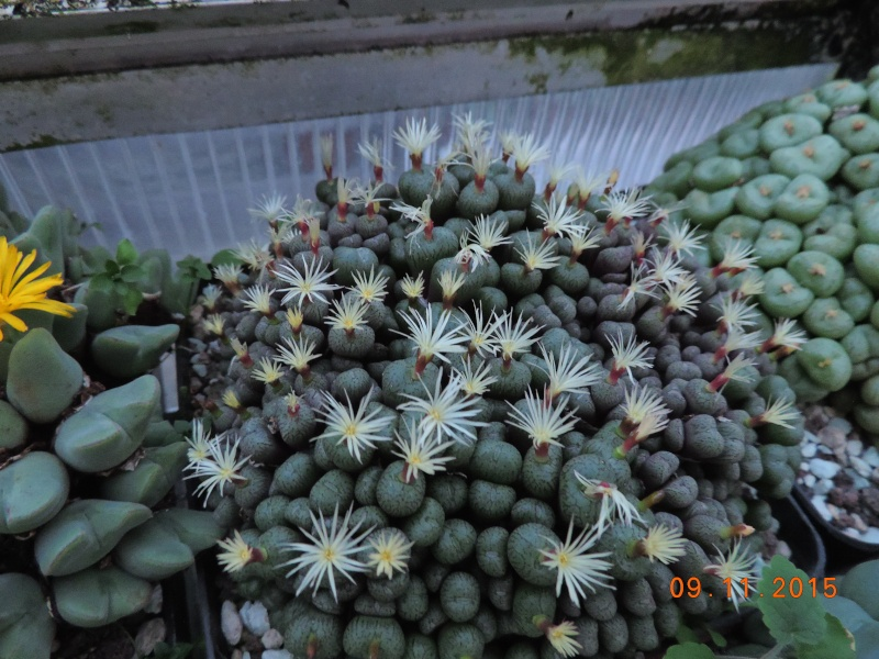 Cacti and Sukkulent in Köln, every day new flowers in the greenhouse Part 134 Bild_435