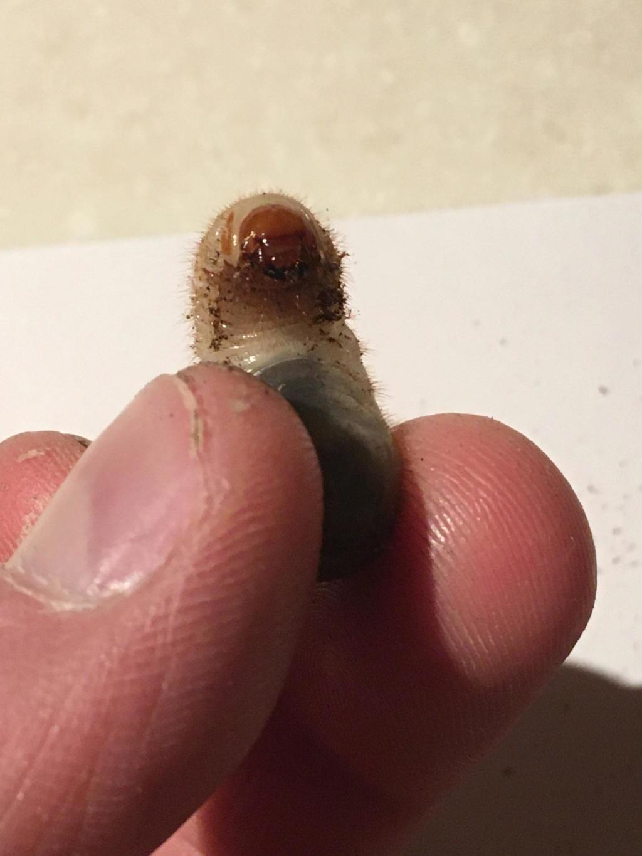 Identification larves 73267110