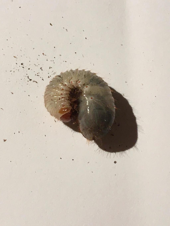 Identification larves 73280410