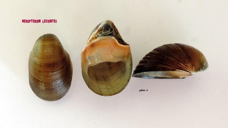 Neripteron lecontei - (Récluz, 1853) Dscn2120