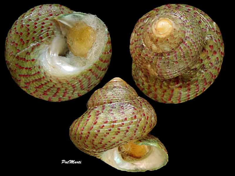 Steromphala divaricata - (Linnaeus, 1758) Gibbul11