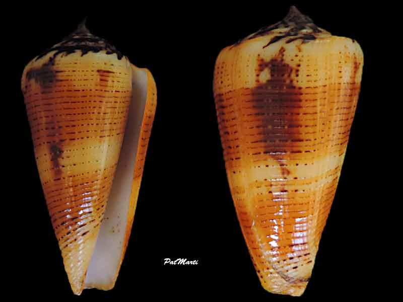 Conus (Pionoconus) circae (Sowerby ll, 1858) voir Conus (Pionoconus) magus - Page 3 Pionoc10