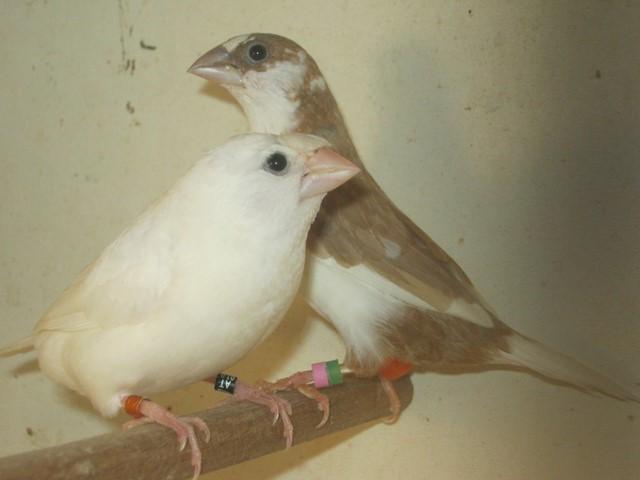 [François s 2015] couple 5 - Blanc huppé x panaché roux Img_5427