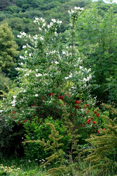 Floraisons du mois de juin Img_0010
