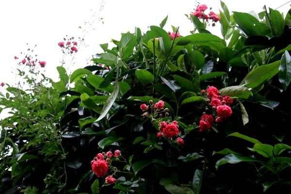 floraisons des arbres et des arbustes - Page 4 Img_0019