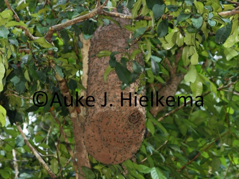Identification requested (large wasp nest - nid de guepe) 185112