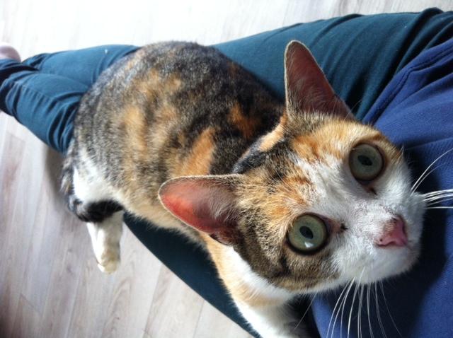 URGENT - Recherche FA de vendredi à lundi pour une chatte de fourrière Photo_13