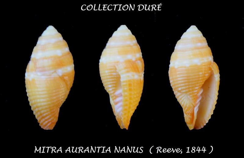 Strigatella aurantia - (Gmelin, 1791)  Panora13