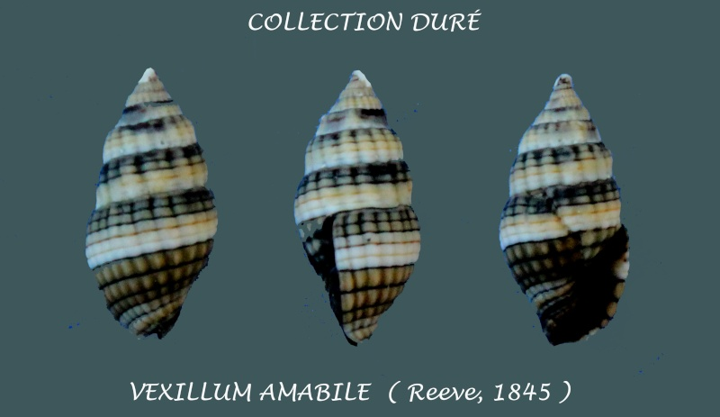 Vexillum amabile - (Reeve, 1845) Panora16