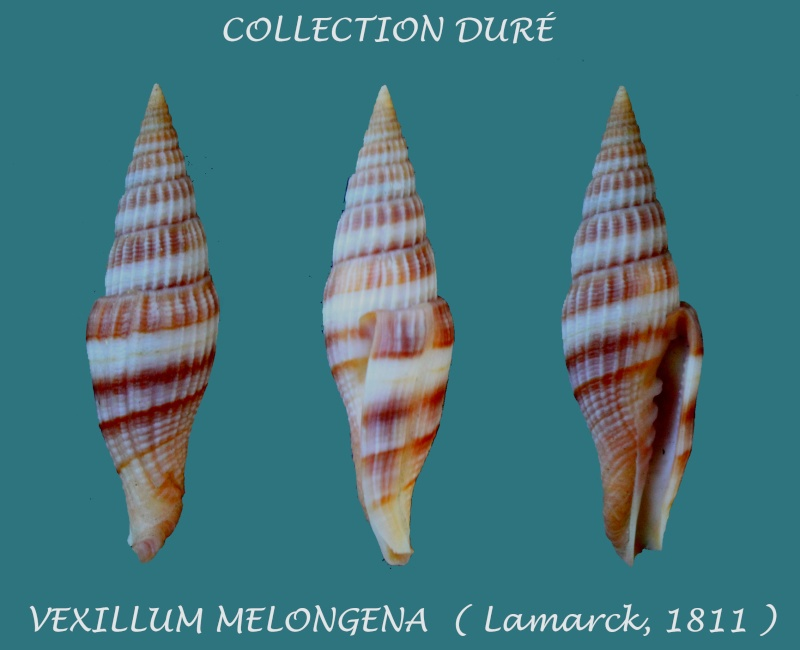 Vexillum melongena - (Lamarck, 1811) Panora17