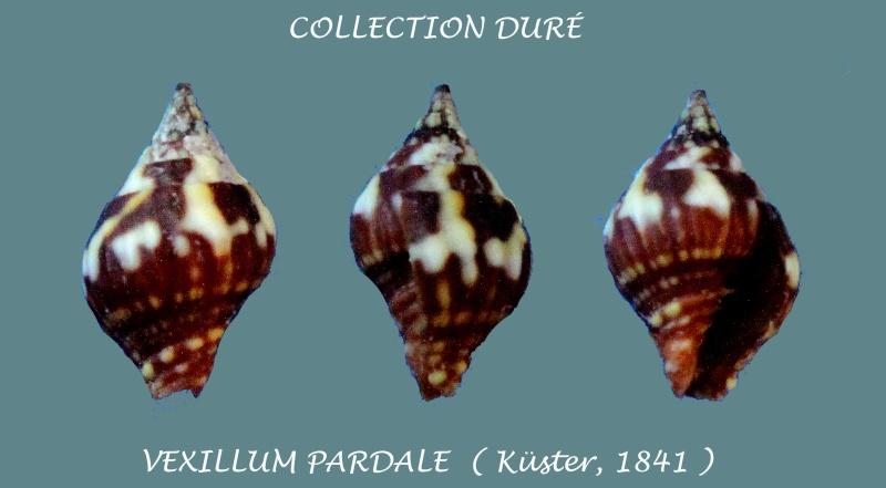 Vexillum pardale - (Küster, 1840) Panora18