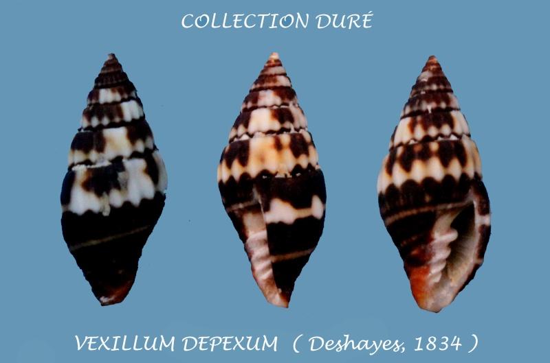 Vexillum depexum - (Deshayes, 1834) Panora20