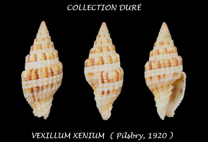 Vexillum xenium - Pilsbry, 1921  Panora21