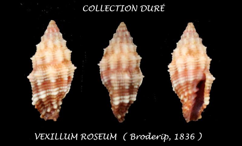 Vexillum roseum - (Broderip, 1836) Panora22