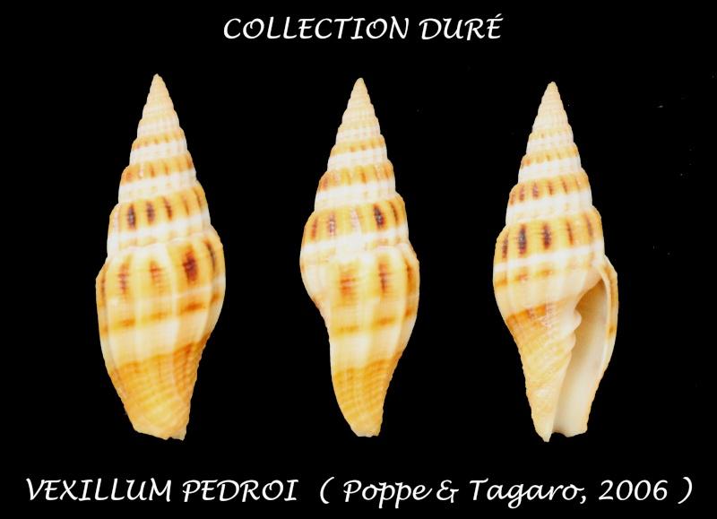 Vexillum pedroi - Poppe & Tagaro, 2006 Panora23