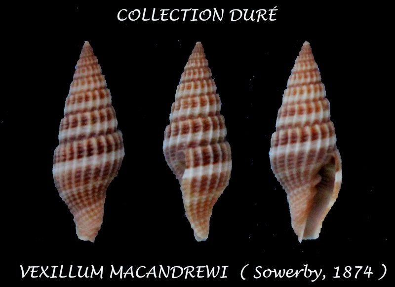 Vexillum macandrewi - (G. B. Sowerby II, 1874) Panora25
