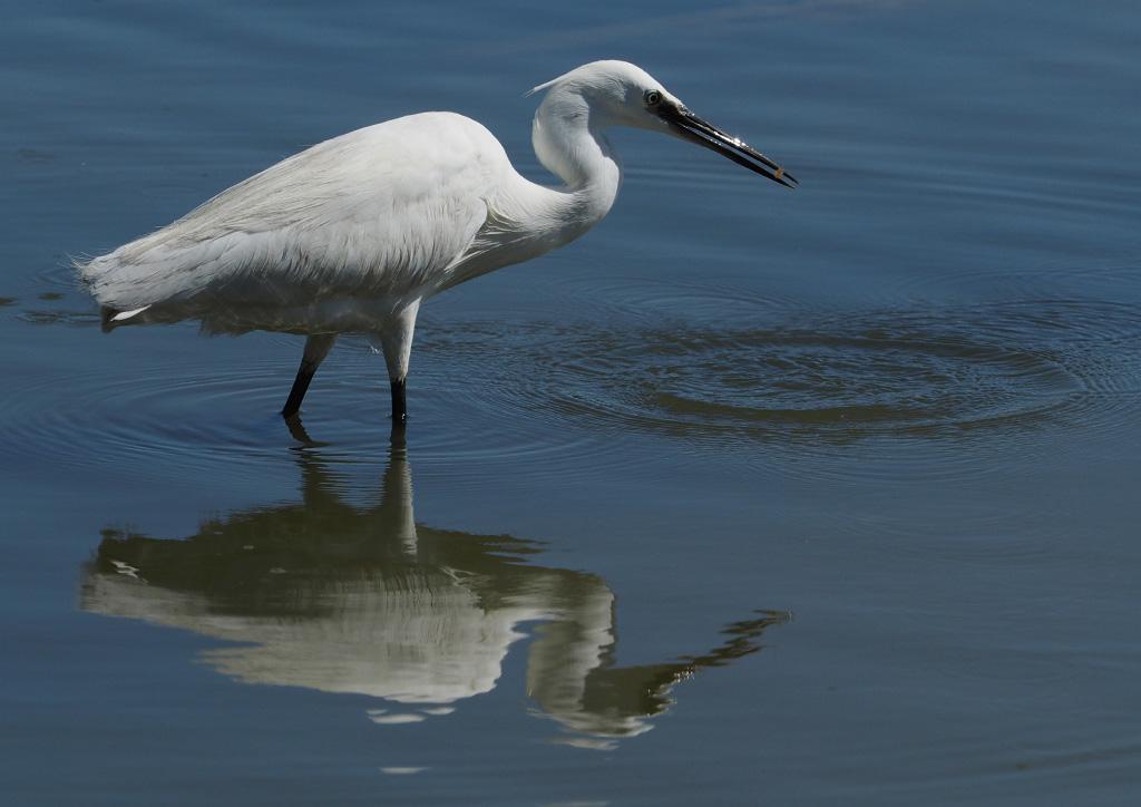 Une méthode pour photographier les oiseaux blancs P6251711