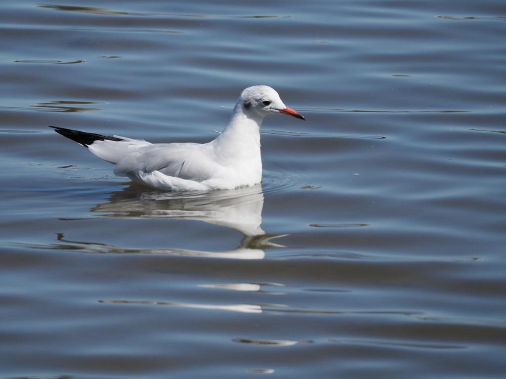 Une méthode pour photographier les oiseaux blancs P9074010