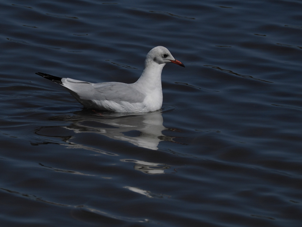 Une méthode pour photographier les oiseaux blancs P9074011