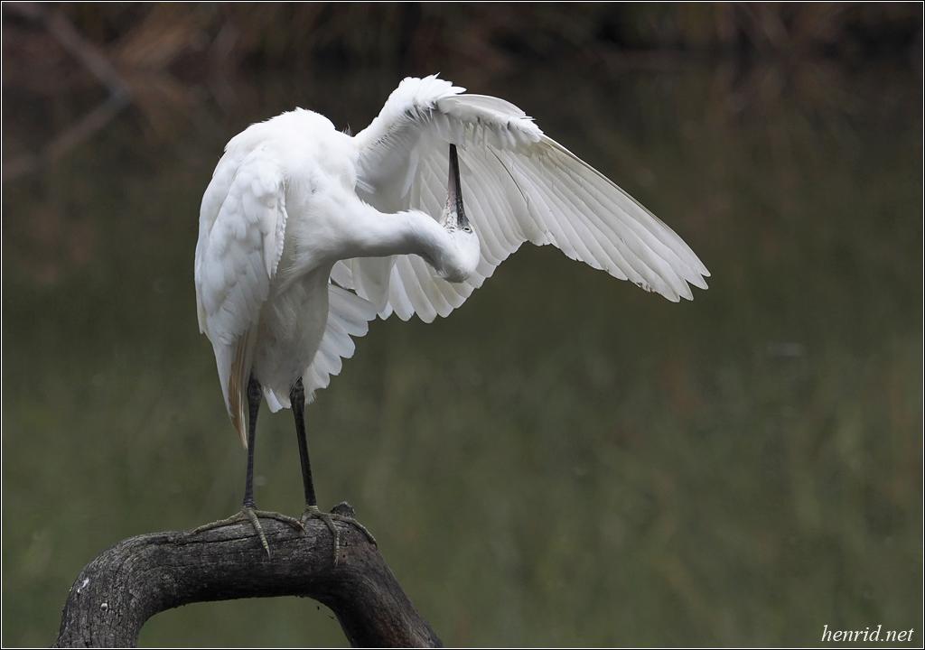 Une méthode pour photographier les oiseaux blancs P9104511