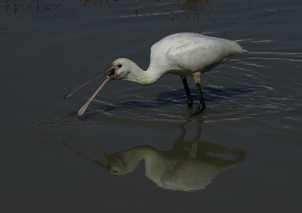 Une méthode pour photographier les oiseaux blancs P9104810