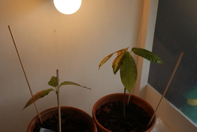 Cacoyer dont les feuilles brunissent Dsc04710