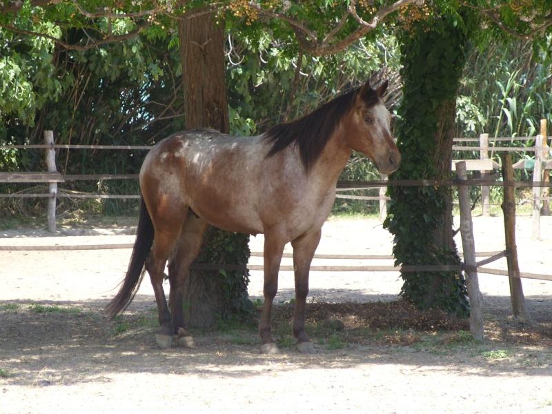 """Centre equestre western """"LA PALOUSE"""" st Cyprien Ss851527"""