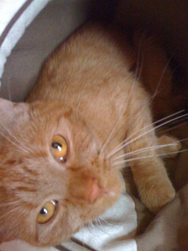 FARANDOLE - Femelle tigrée rousse de 1 an Img_0318