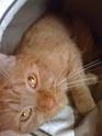 FARANDOLE - Femelle tigrée rousse de 1 an Img_0316