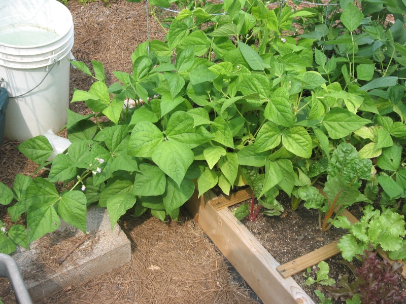 My bush beans are trying to vine as well Sfg_ju11