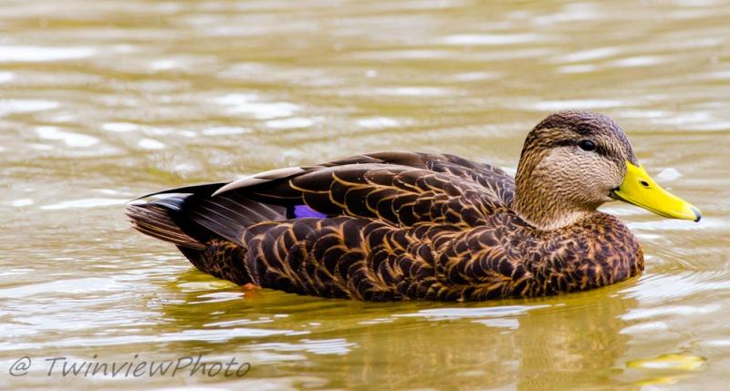 Harle couronnée femelle et canard noir _1074611