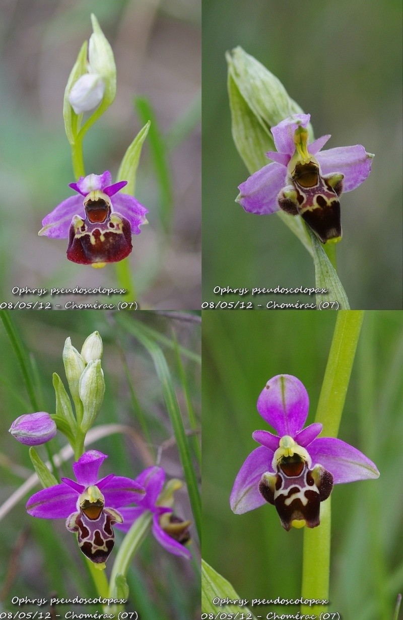 Ophrys fuciflora subsp.demangei... Chomer10