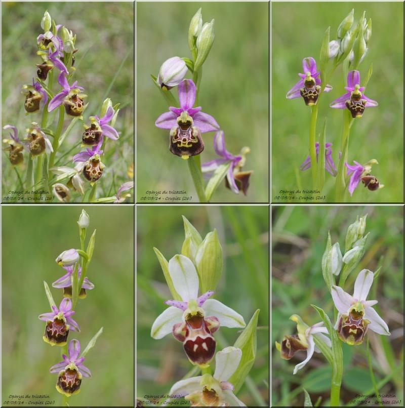 Ophrys fuciflora subsp.demangei... Crupie10