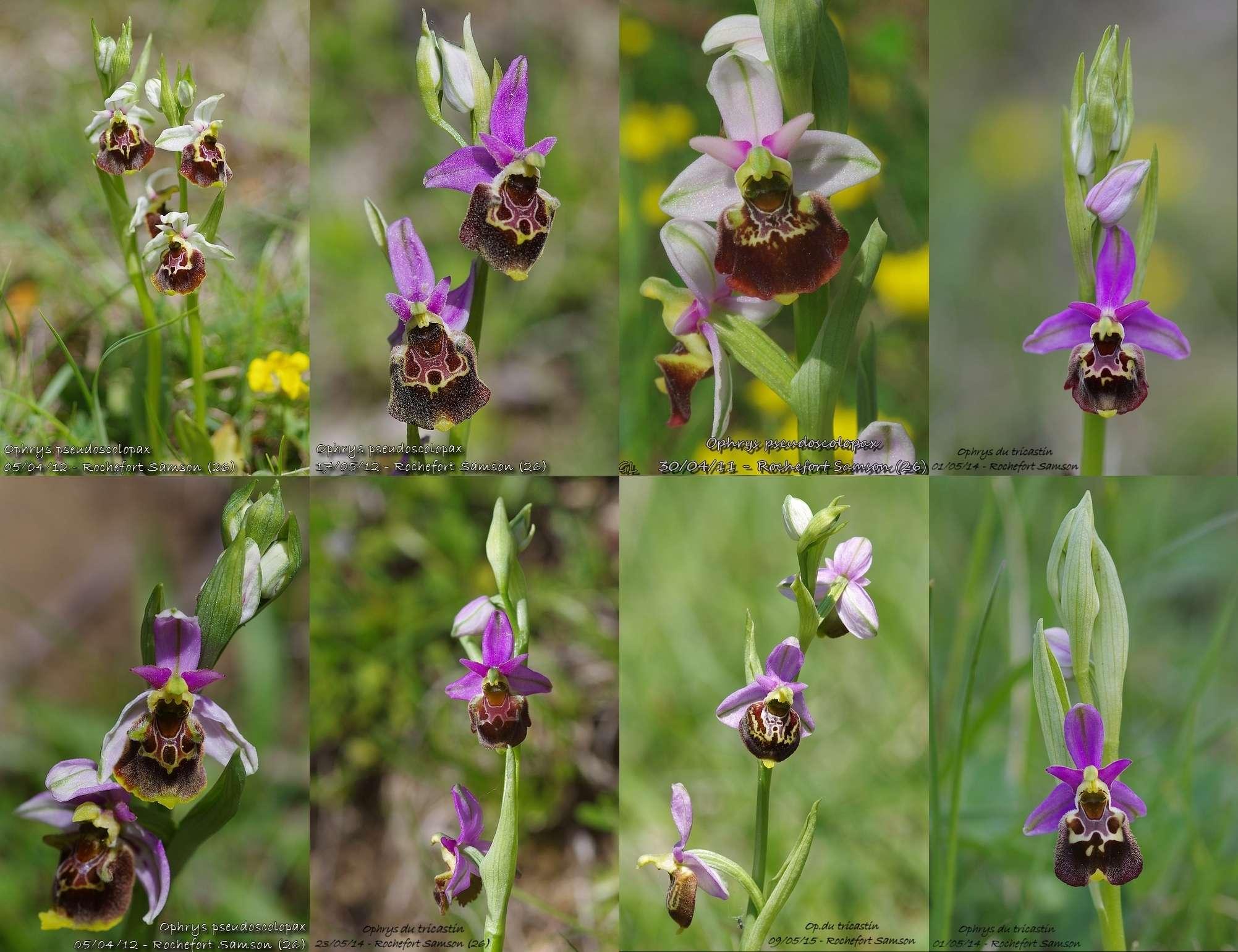 Ophrys fuciflora subsp.demangei... Rochef11