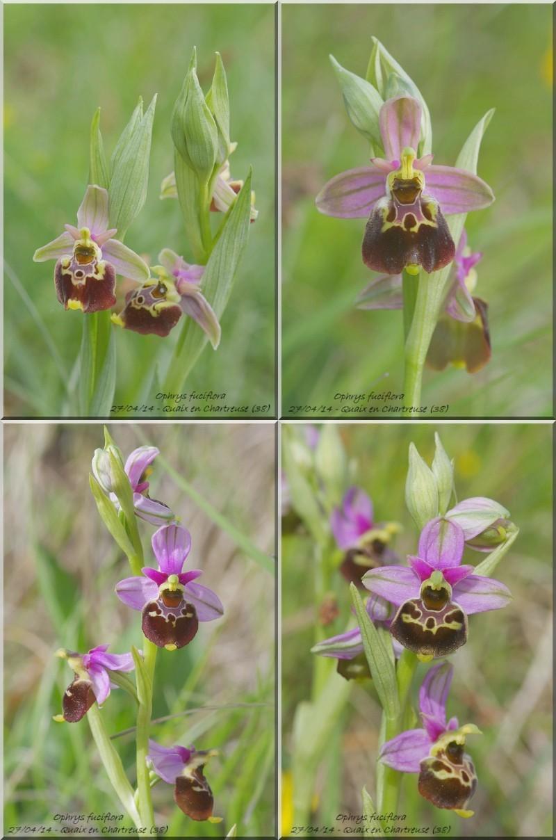 Ophrys fuciflora subsp.demangei... Sans_t10