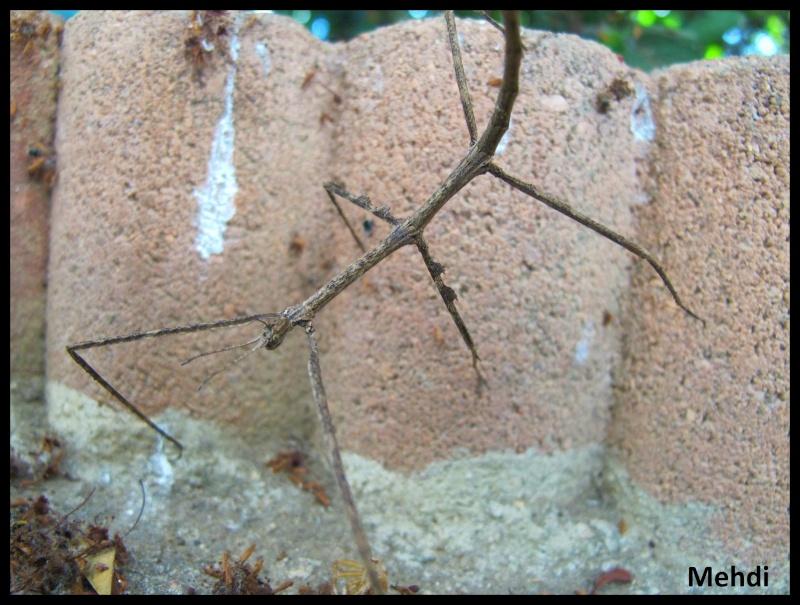 """Medauromorpha regina """"Tay Yen Tu"""" (P.S.G. N° 393) (C.L.P n°623) Img_4413"""