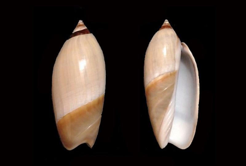 Agaronia johnkochi - Voskuil, 1990 Agaron18
