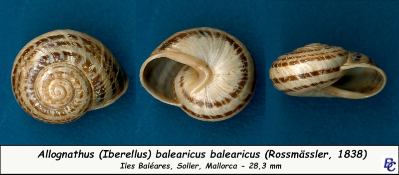 Allognathus balearicus balearicus (Rossmasser, 1838) Allogn10
