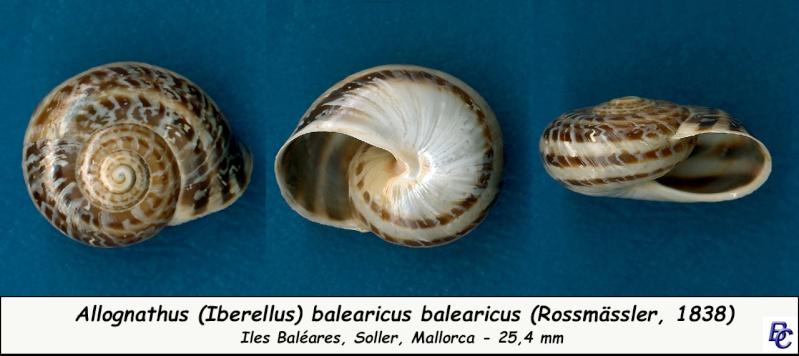 Allognathus balearicus balearicus (Rossmasser, 1838) Allogn11