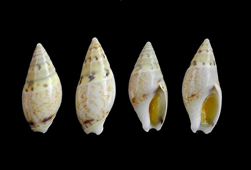 Amalda lineata - Kiener, 1844 Amalda15