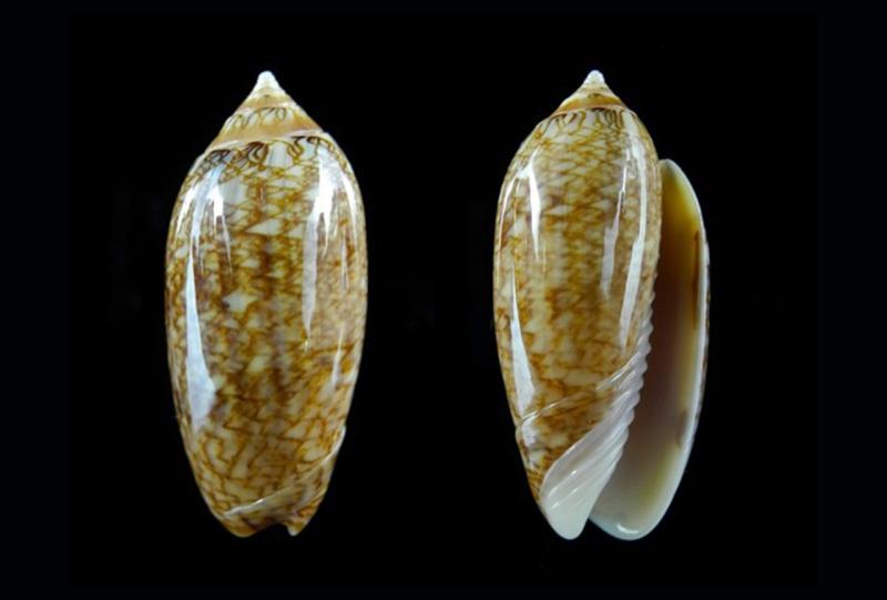 Americoliva barbadensis - Petuch & Sargent, 1986 Americ10
