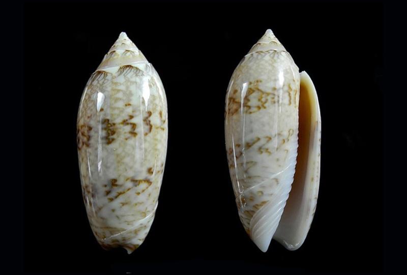 Americoliva barbadensis - Petuch & Sargent, 1986 Americ11