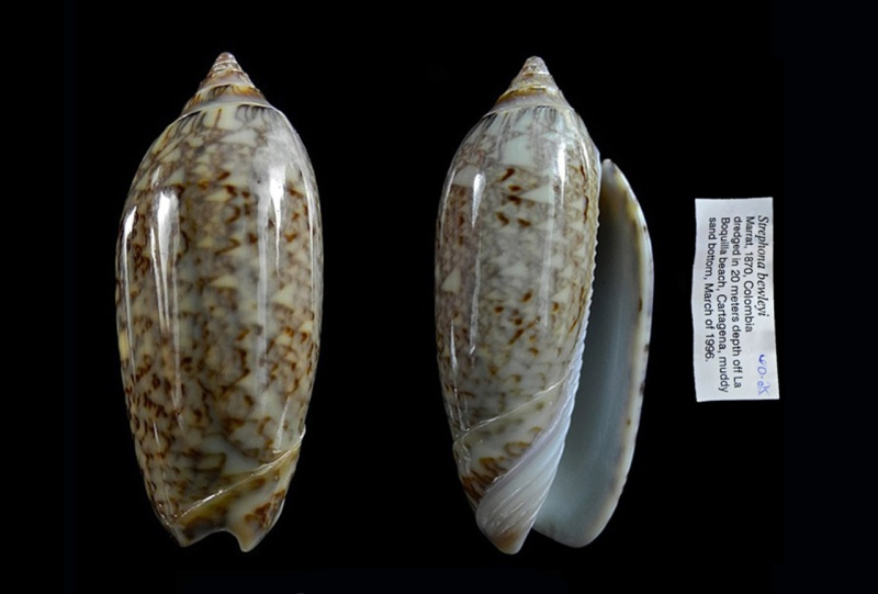 Americoliva bewleyi - Marrat, 1870 Americ12