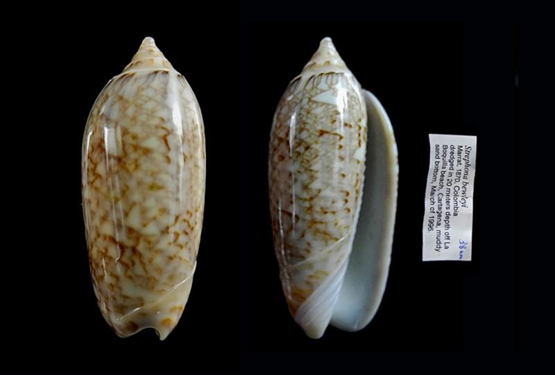 Americoliva bewleyi - Marrat, 1870 Americ13