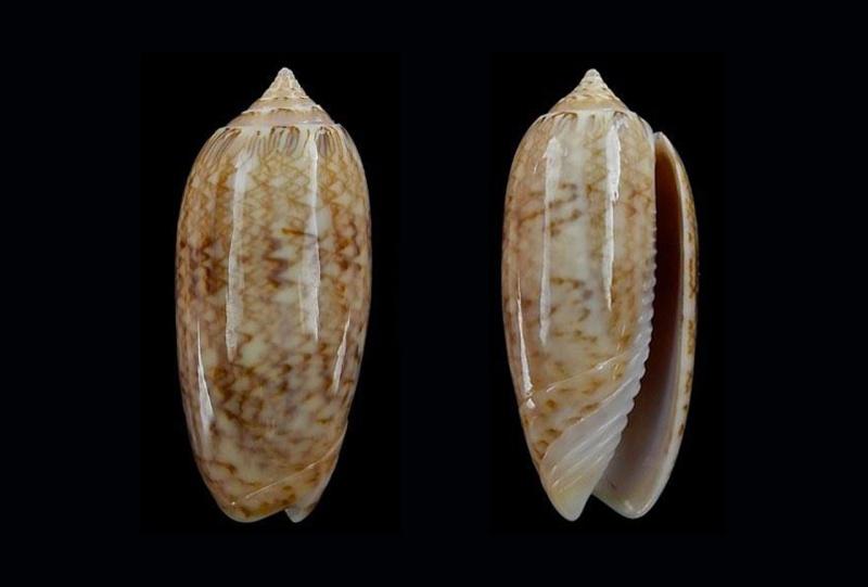 Americoliva bollingi choctaw - Petuch & R.F. Myers, 2014 Americ14